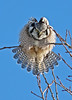 Fan tail (annkelliott) Tags: wild canada tree bird nature birds vertical fauna outdoors lumix fan day feathers nopeople explore alberta ornithology stretching avian frontview perching northernhawkowl surniaulula colorimage beautyinnature spreadwings interestingness97 i500 annkelliott crystalaward fz18 nwofcalgary panasonicdmcfz18 vosplusbellesphotos birdshare february16th2009 nwofcochrane p1480111fz18 explore2009february19