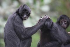 IMG_8973 (viking_79) Tags: zoo daylight wildlife sigma naturallight ape monkeys inside canon5d primate apes omahazoo windowlight monopod henrydoorlyzoo sigmalens sigma100300f4 ex100300f4