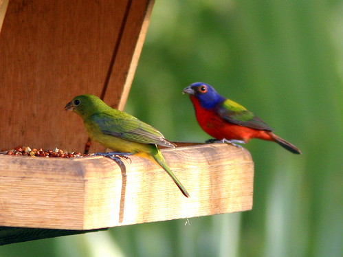 Painted Bunting Pair 20090225
