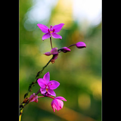 Thank you my dear Phan Ly... (JannaPham) Tags: india orchid flower macro green dedication canon eos purple friendship bokeh goa explore palacio project365 explorefrontpage 40d jannapham phanly photophanly