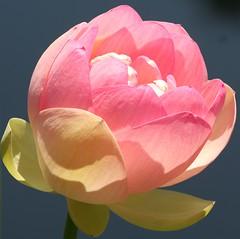 """opening up"" (flutemumof3(I'm back)) Tags: nc floraandfauna sarahpdukegardens"