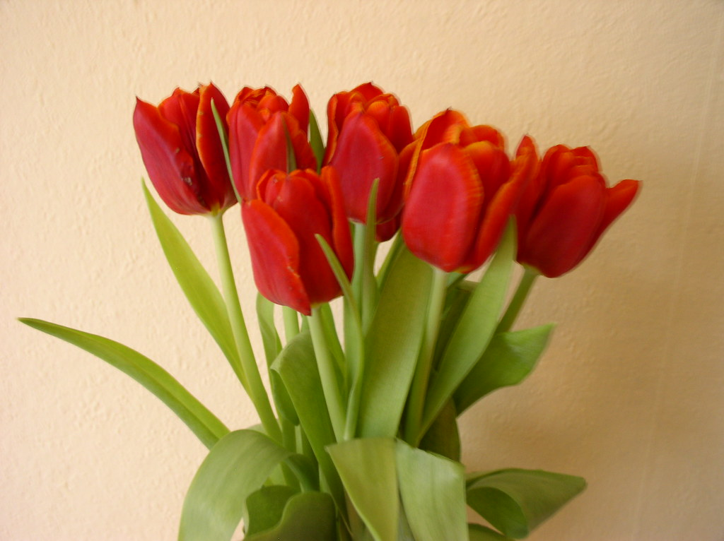 A bouquet of red tulips