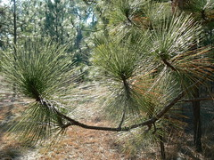 Merchant's Millpond State Park - Longleaf Pine Needles in Sun