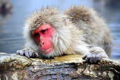 Ah! That is soothing (Frankky) Tags: japanesemacaque jigokudaniyaenkoen snowmokeys