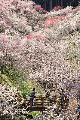 Oume plum trees park (青梅市梅...
