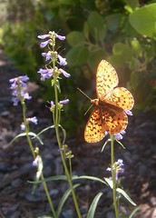 Flower and Butterfly (Thundercatt99) Tags: nature butterfly wildflower flutter
