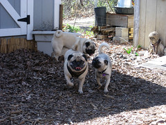 norman, pugsley and junebug