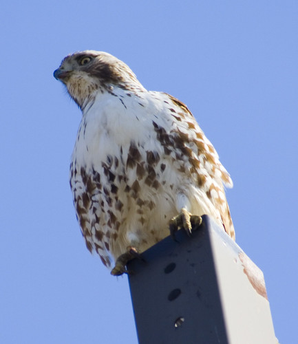red tailed hawk lampost3