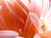 rosa delicato