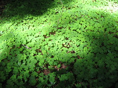 """4 leaf clovers • <a style=""""font-size:0.8em;"""" href=""""http://www.flickr.com/photos/36178200@N05/3395596554/"""" target=""""_blank"""">View on Flickr</a>"""