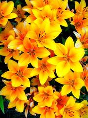 Alaska Anchorage Lily Flowers In Our Garden (MarculescuEugenIancuD60Alaska) Tags: alaska anchorage supershot abigfave platinumphoto citrit theunforgettablepictures newacademy goldstaraward awesomeblossoms vosplusbellesphotos lesamisdupetitprince virtualjourney mmmilikeit