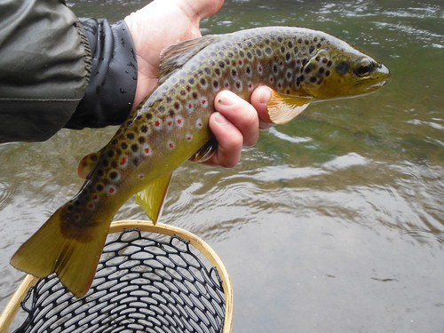 Savage River Brown