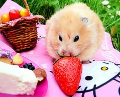 Hamster (Hoang_nga9389) Tags: hamsters