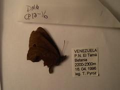 Tamania jacdquelinae