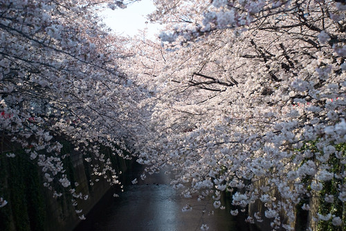 Sakura in Naka Meguro 08