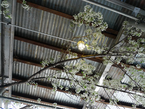 cherry blossoms under scaffolding (2 of 2)