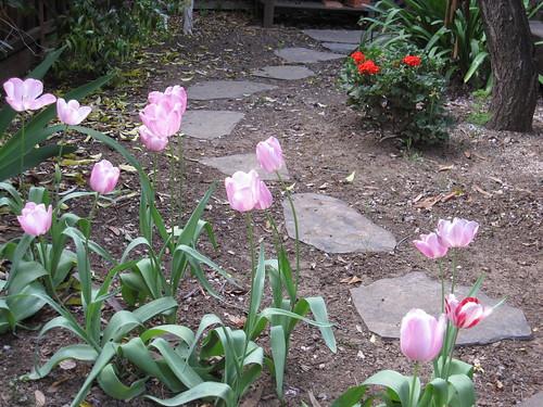 Tulips & geraniums