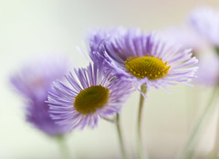 the aster greets us as we pass with her faint smile... (kellysauer) Tags: macro daisies hope interestingness purple bokeh explore wildflowers 365 asters oneword smoothandsilky softsoftsoft picturehope onewordapril piperpickedthese weputtheminwater bloominthesunshinehideatnight