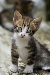 Stray kitten-wondering (Engi Tee) Tags: blue cats cute green eye cat d50 nikon kitten kittens stray