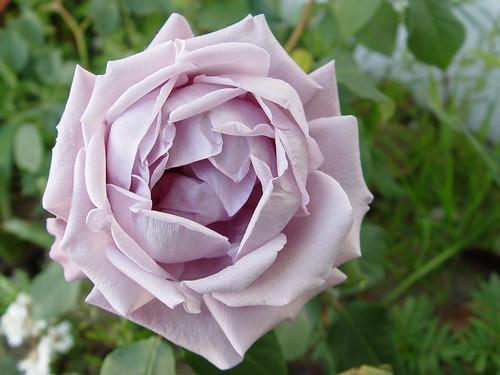 Purple rose :)