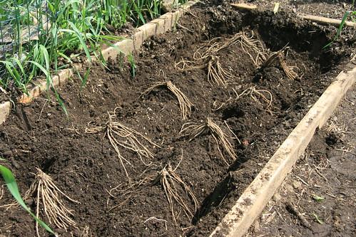 asparagus laid out