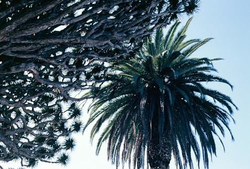 Drago e palmeira  de Icod
