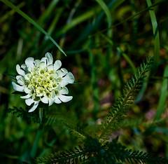 whiteFlower (ersa24) Tags: flowers macro green canon 450d photolovers flowermania grouptripod