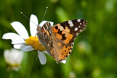 Butterfly (jmauerer) Tags: macro nature closeup butterfly nikon natur makro globalvillage schmetterling musictomyeyes d300 mauerer peaceaward aplusphoto flickrhearts flickraward flickrdiamondgroup heartawards buzznbugz spiritofphotography defendersnaturemacroandcloseup doubledragonawards atmphotography justthebestsurvived jmauerer updatecollection universeofnature