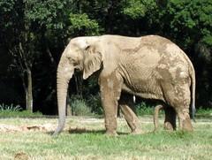 Elephant with Erection (tvindy) Tags: brazil elephant male animal penis zoo scary belohorizonte erection pau bh pampulha