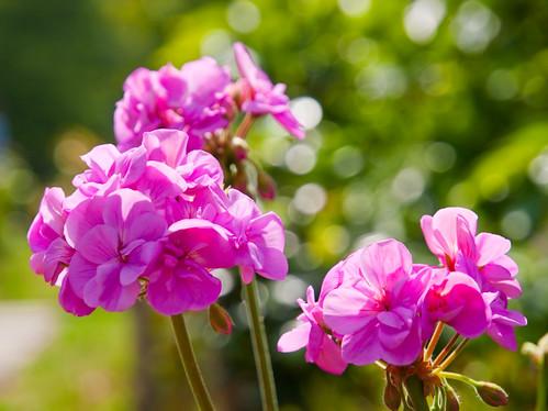 Pelargonium hortorum Bailey (Geranium) 天竺葵