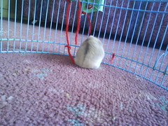 Toby doing some thing suspicious.......... (ikieran97) Tags: toby hamsters