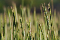 Field of rye (Hkan Dahlstrm) Tags: verde green field groen sweden schweden vert rye sverige grn grn sude svezia secale cereale skanelan harlosa harlosa