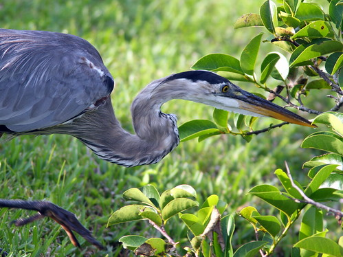 Great Blue Heron Hunting 20090528