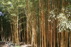 Bamboo Forest at La Bambouseraie (Shropshire Bogtrotter) Tags: bamboo labambouseraie