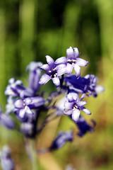 Teardrop (Danknee.) Tags: wood blue flower green field grass stem purple forrest bell drop petal danny land bud tear bluebell depth photosynthesis danknee