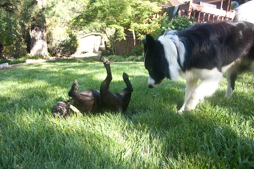 Silly Pug and Questioning Border Collie