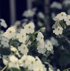 (Syka L Vy) Tags: flowers blue wild white vietnam vy miss dreamer 2009 mylove sleepwalker l supershot hoadi syka vng lt whitelovely fromsykawithlove sundaycomes sykalevy lehoangvy sundayspirit