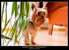Are you there? (Hagens_world) Tags: animal animals dog hund hunde lebewesen tier tiere animales creature dogs perro canoneos50d yorkshireterrier yorkshire terrier yorki terriertypeyorkshire flickraward hagensworld hagensworldphotography nutzungshonorar forsale askforcommercialuse bildagentur stockphotography kommerziellenutzung stockphotos chapa chaparrita flickr selection markerblue rating4