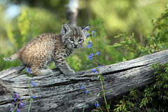 Bobcat Baby (Megan Lorenz) Tags: baby nature animal closeup america mammal outdoors feline montana looking unitedstates wildlife watching young curious bobcat wildcat staring playful alert kalispell wildanimals blurredbackground tripled controlledsituation