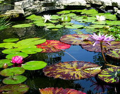 Lily Pond - Meredith Corp Garden (Don3rdSE) Tags: flores flower color nature water beautiful canon garden landscape pond flora waterlily natural blossom july iowa powershot ia bloom lilypads desmoines waterscape blueribbonwinner g9 testgarden meredithcorporation mywinners abigfave platinumphoto aplusphoto platinumheartaward theperfectphotographer canong9 goldstaraward oltusfotos don3rdse