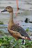 Lesser Whistling-Duck (Dendrocygna javanica) (Z.Faisal) Tags: tree bird duck teal indian beak feathers hans aves javan lesser bangladesh avian bipedal bangla faisal whistling desh chini zamir savar whistlingduck choto dendrocygna pakhi javanica lesserwhistlingduck dendrocygnajavanica endothermic jahangirnagar jahangirnagaruniversity lessertreeduck lesserwhistlingteal indianwhistlingduck javantreeduck javanwhistlingduck whistlingteal sarali zamiruddin zamiruddinfaisal zfaisal chotosaralihans shingalihans chinigahak shingali gahak
