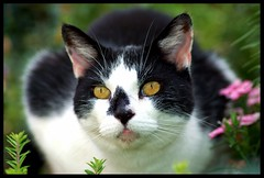 Rocky....chasing birds in cat heaven... (Levels Nature) Tags: portrait pet pets cat eyes feline rocky tribute abigfave