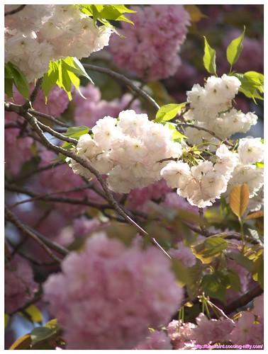 Cherry blossom 100427 #04