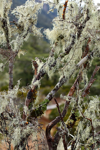 Dripping with lichen