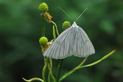 Mustsoonvaksik; Siona lineata; Black-veined Moth (urmas ojango) Tags: lepidoptera liblikalised insecta insects putukad moth vaksiklased nationalmothweek geometridae mustsoonvaksik sionalineata blackveinedmoth