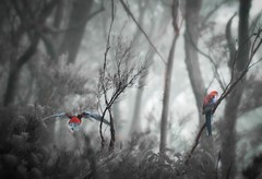 Fly away Peter (Kim Aubrey) Tags: mist bird fog native australian parrot australia bluemountains nsw crimsonrosella wentworthfallslake kimlou58