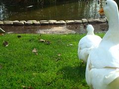 Duck PORN (Combustion Glassworks) Tags: beak ducks porn doggystyle pervert voyeurism pron dirtybird outdoorsex duckporn ducksdoingitdoggy pervertduck makingducksauce deepbeak hititfromtheback suckmybigduck