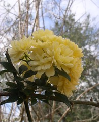 Yellow Flower (PaperBouquet of Mars) Tags: flowers blue trees sky flower green nature leaves yellow clouds outside outdoors spring branches bluesky yellowflower growing yellowflowers whitefluffyclouds floweronvine vinyflower