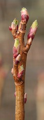 Blackcurrant buds