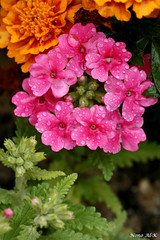 Nature beauty (Nouf Alkhamees) Tags: pink orange flower color colors canon alk nono  alkuwait  nouf